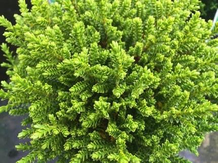 Hebe Emerald Green P12