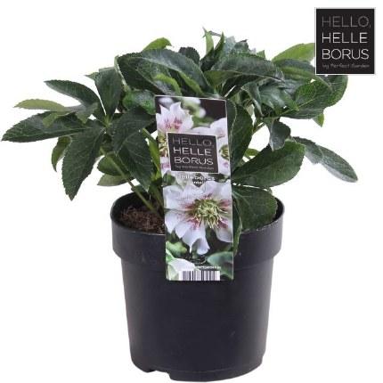 Helleborus orientalis 'Hello Pearl'   Christmas Rose