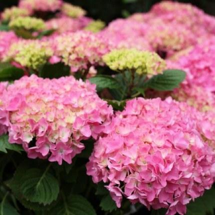 Hydrangea JG macrophylla pink