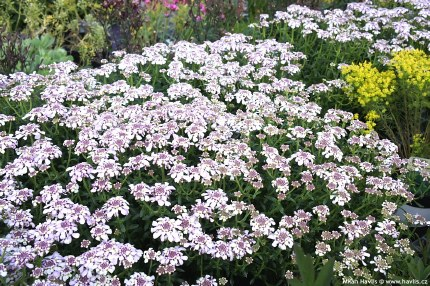 Iberis 'Pink Ice' Candytuft Alpine in 9cm Pot