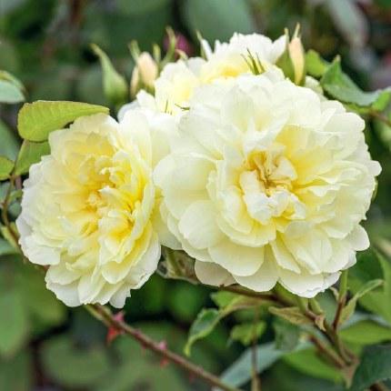 Imogen David Austin Fragrant Rose 5 Litre