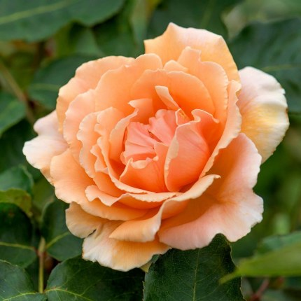 Just Joey Hybrid Tea Rose - Standard