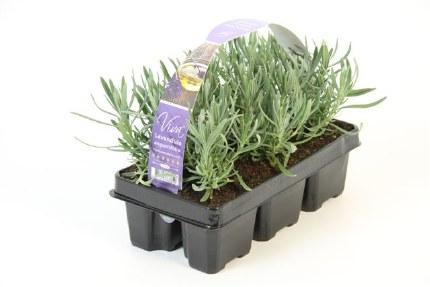 Lavender angustifolia Six Pack