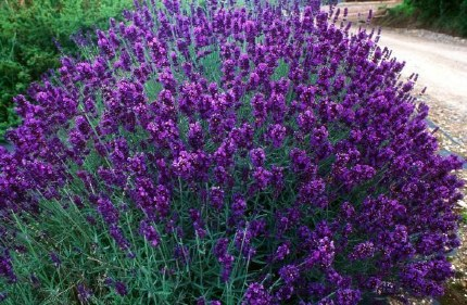 Lavandula angustifolia Hidcote P12