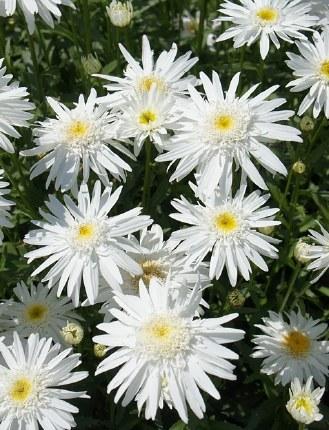 Leucanthemum m. Wirral Supreme