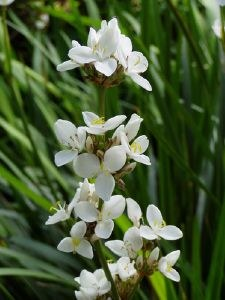 Libertia grandiflora