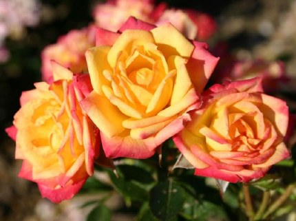Little Sunset Patio Rose 3.5 Litre