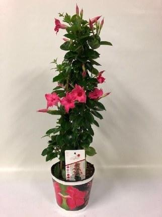 Mandevilla 'Sundaville Pink' 75cm Tall