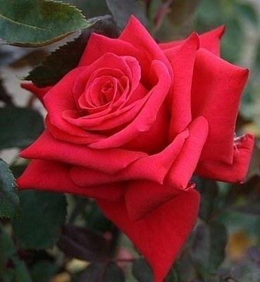National Trust Hybrid Tea Rose  - 3 Litre