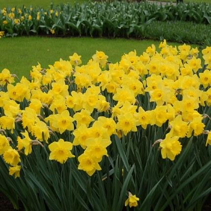 Daffodil - Narcissus Dutch Master - 7kg