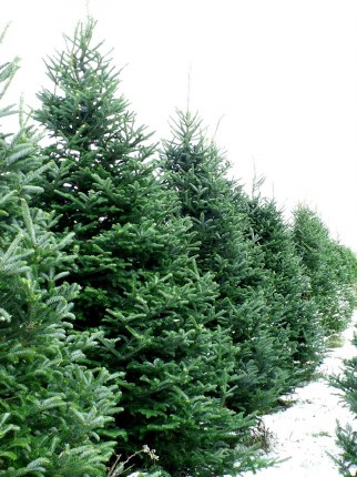 Fresh Cut Real Christmas Tree Noble Fir Premium Quality 200-225cm