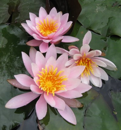Nymphaea Rosennymphe Water Lily P11