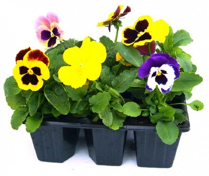 Pansy Mix 6 Pack