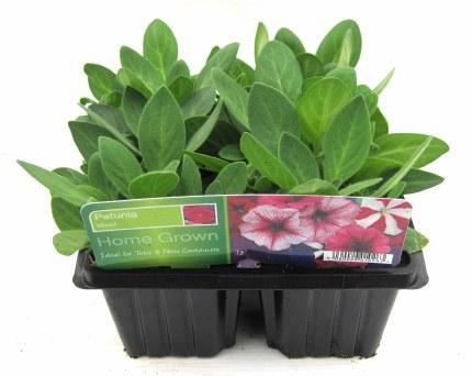 Petunia 6 Pack Mix Flower