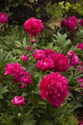 Paeonia 'Karl Rosenfield'