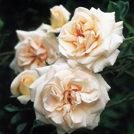 Penny Lane Climbing Rose - 3 Litre