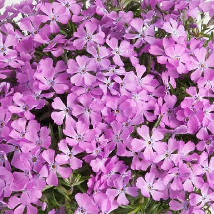 Phlox subulata 'Fabulous Rose' 2 litre