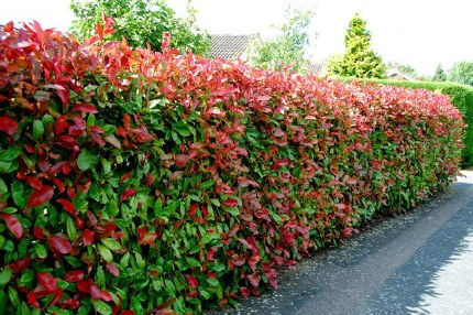 Photinia Red Robin - 3Ltr Hedge  60-80cm