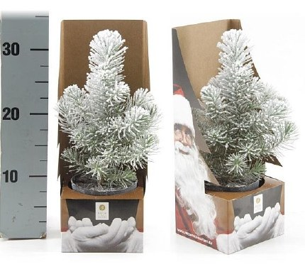 Potted Real Christmas Tree - Pinus pinea 'Silvercrest' Snow sprayed 25-35cm