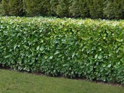 Prunus laurocerasus Rotundifolia  - Common Laurel 2 Litre 40-60cm Tall