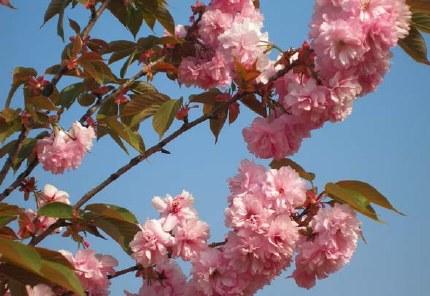 Prunus serrulata Kanzan 10 Litre