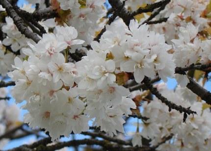 Prunus Serrulata TaiHaku | Cherry Blossom Tree 10 Litre