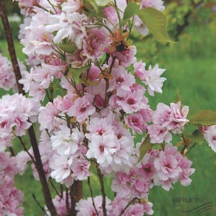 Prunus serrulata Amanogawa Japanese Flowering Cherry Tree 10 Litre