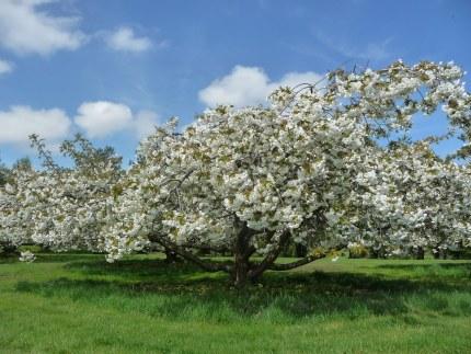 Prunus serrulata Shirotae 10L