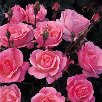 Queen Elizabeth Floribunda Rose - 3 Litre
