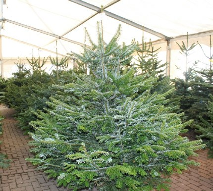 Fresh Cut Real Christmas Tree Nordman Fir Premium Quality 200-225cm