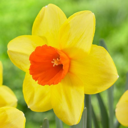 Daffodil - Narcissus Red Devon - 3kg