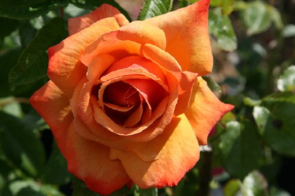 Remember Me Hybrid Tea Rose -4.5 Litre