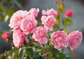 Rosa 'Pink Shrub'