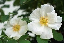 Rosa 'White Shrub'