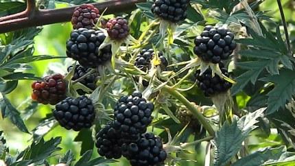 Blackberry 'Thornless Evergreen'   Rubus 'Thornless Evergreen'