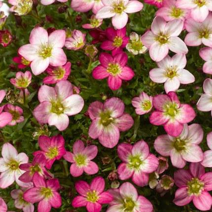 Saxifraga Lofty Pink