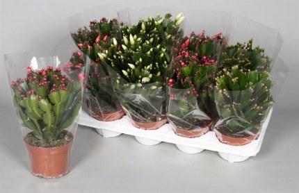 Schlumbergera Christmas Cactus
