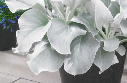 Senecio Angel Wings 2 L