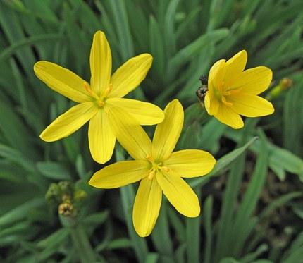 Sisyrinchium Californicum p9