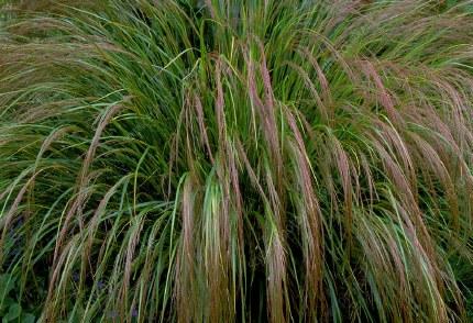Stipa arundinacea | Phesants Tail Grass