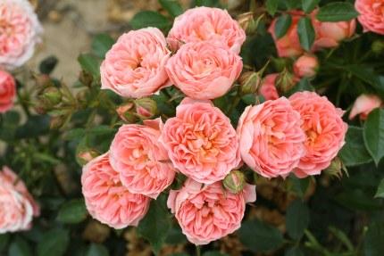 Sweet Wonder Patio Rose 3.5 Litre