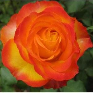 Tequila Sunrise Hybrid Tea Rose   - 3 Litre