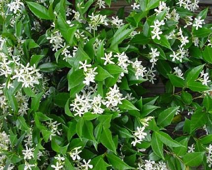 Trachelospermum jasminoides 'Star Jasmine' - Very Fragrant
