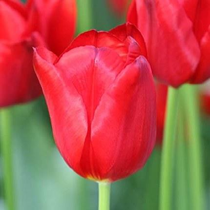 Tulip 'Seadov'