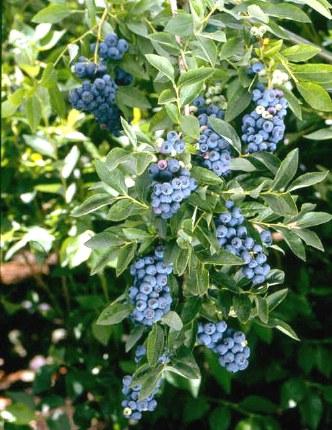 Vaccinium Hardy Blue