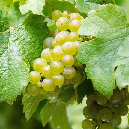 Grape 'Bianca'   Vitis vinifera 'Bianca'