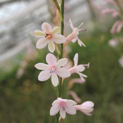 Watsonia Pale Violet