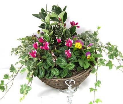"Hanging Basket 12"" with Surfinias, Fuchsia, Bacopa & Verbena  Mix"