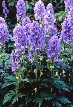 Aconitum Bressingham Spire 3L