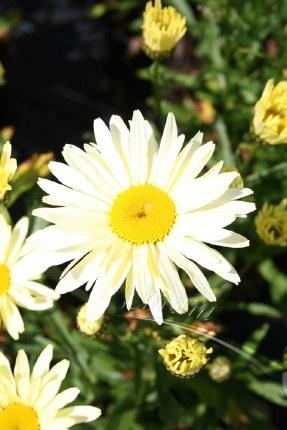 Chrysanthemum x. sup. 'Banana Cream'